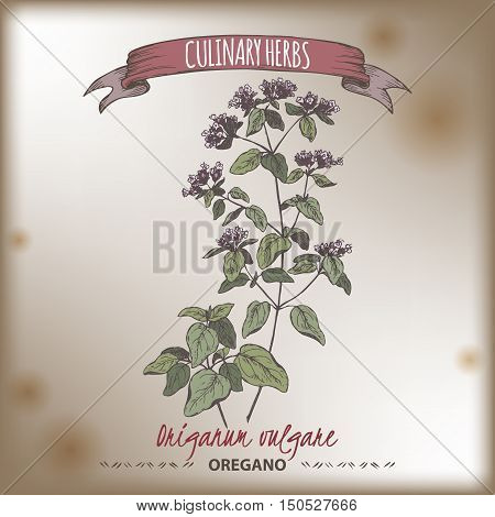 Origanum vulgare aka Oregano vector hand drawn color sketch on vintage background. Culinary herbs collection. Great for cooking, medical, gardening design.