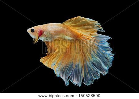 Siamese Yellow fighting fish isolated on black background.