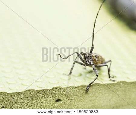 Black beetle barbel outdoors close up. Macro