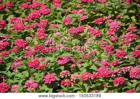 close up pink zinnia flower in nature garden