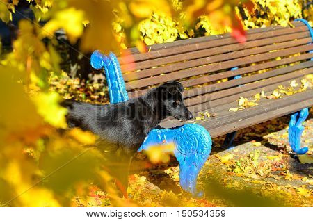 Autumn portrait of black dog near wooden bench looking forward. Golden leaves lying on the ground around. Beautiful blurred yellow leaves on foreground.