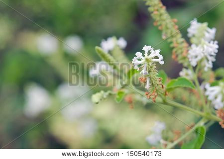 Butterfly Bush White Flower With Blurred Background