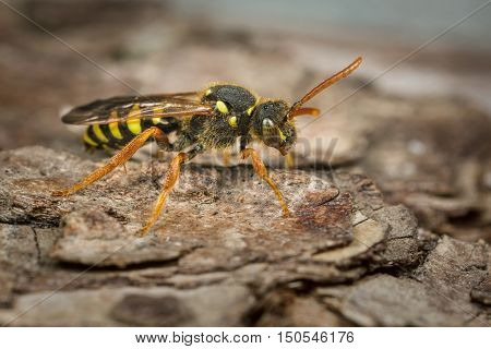 A female Gooden's Nomad Bee - Nomada goodeniana - on a piece of bark. This is a cuckoo bee that attacks the nests of Andrena Mining Bees.