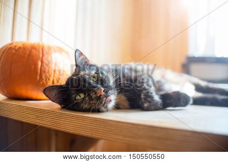 Triple Color Cat On Wood Table With Pumpkin And Bright Light From Window,