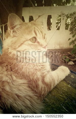 Beautiful Yellow Cat with Yellow Eyes on vintage background