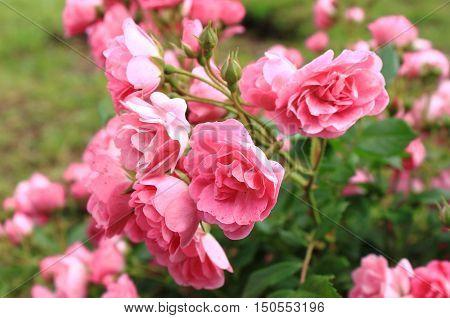 Closeup of a beautiful bush of red roses