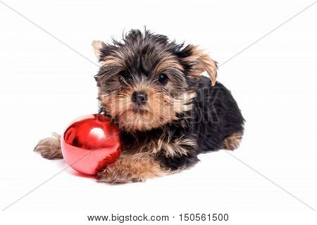 Cute Yorkie Puppy on White Background with a Christmas Ornament