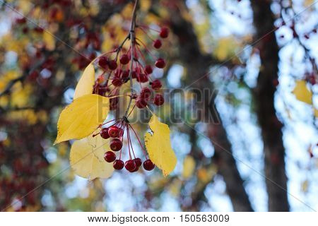 The photo shows a ripe red mountain ash berries