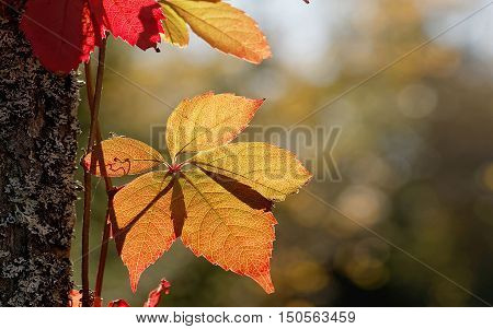 Red and yellow leaf suitable as autumn widescreen display background