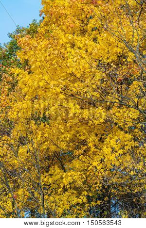 Autumn Background With Bright Yellow Maple Leaves