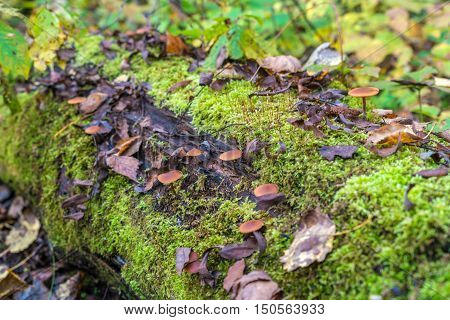 Poisonous Fungus (galerina Marginata) On A Decaying Log Covered With Moss In The Forest