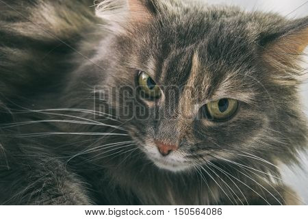 Gray Cat On A White Background, A Cat With Yellow Eyes, Furry Cat
