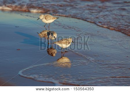 Semipalmated Sandpiper walking in the surf of a Prince Edward Island beach.