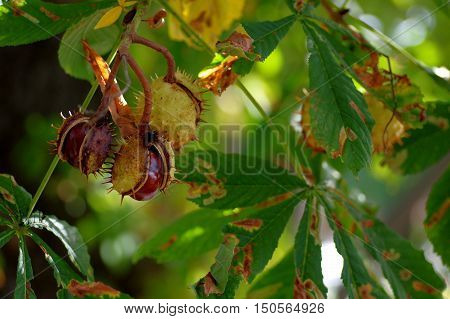 The photo shows a branch of the chestnut which are ripening chestnuts. They are located in the partially cracked shell.