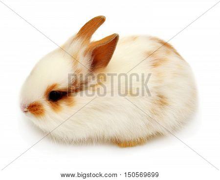 Beautiful white rabbit angora lion head isolated on white background