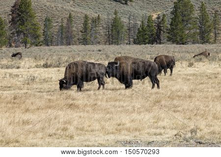 Two Bison playfully interacting in the Grand Teton National Park