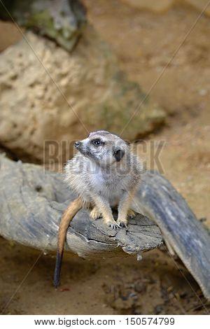 Meerkat sits and looks ahead at ine meerkats