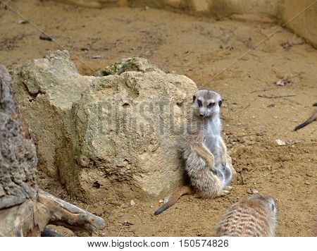Meerkat sits and rests on the stone