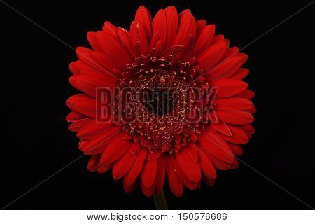 Red, Flower, Black background, well-lit, Gerbera, close-up
