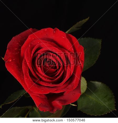 Red, Flower, Black background, well-lit, Rose, close-up