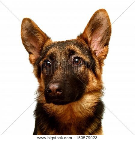 A beautiful muzzle is the German shepherd isolated on a white background