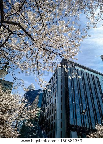 blooming tree flowers in spring in the city