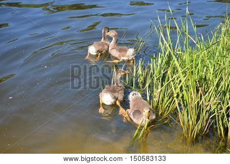 Young ducklings swimming in the river. Animals.
