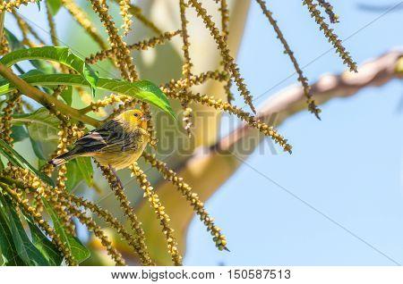 Canarinho bird on a branch of a tree.
