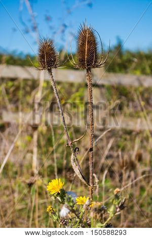 Autumn plants. dried thistle flower with blurred background