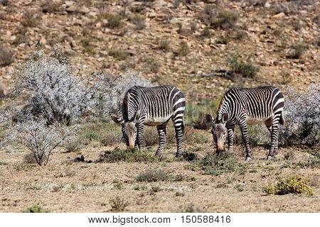 Two Zebras Eating Grass In Mountain Zebra