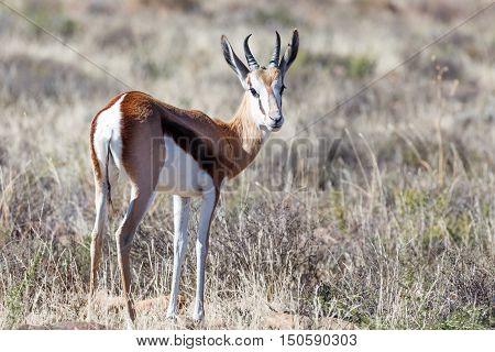 Inquisitive Springbok Looking Back