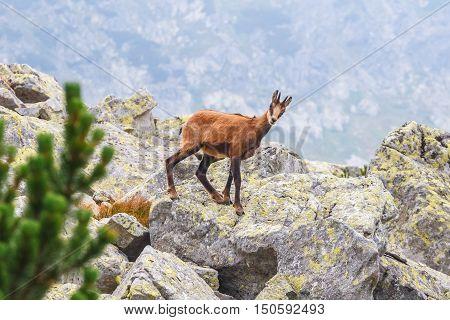 Chamois (Rupicapra Carpatica) in High Tatra Mountains Poland