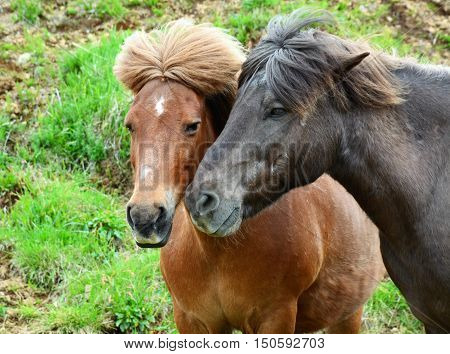 A close-up of a pair of Icelandic horses seen by the roadside.