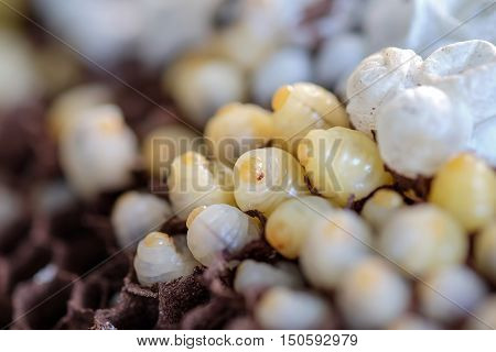 The larvae, Young hornet in the nest.