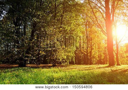 Autumn forest landscape view of sunny autumn golden trees. Early autumn forest landscape lit by sunset light breaking through the autumn trees. Forest autumn landscape with yellowed autumn trees.