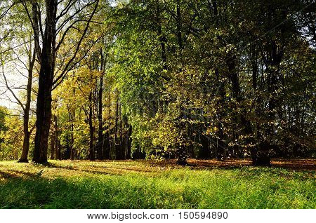 Sunny autumn view of golden autumn forest. Autumn landscape with yellow autumn trees. Autumn picturesque forest in early autumn with fallen dry autumn leaves under sunlight. Colorful autumn nature.