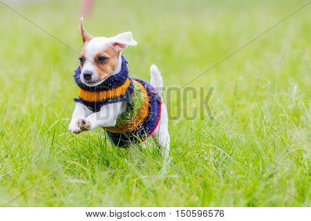 Cute Small Dog Jack Russell Terrier With Winter Jacket Jumping In The Meadow