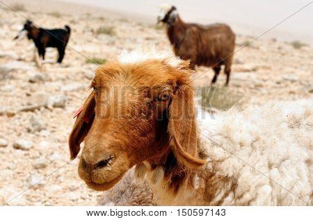 Farm Animals - Sheep