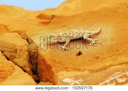 Wildlife Photos - Gecko Lizard