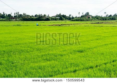 Green Cornfield in the countryside of Thailand