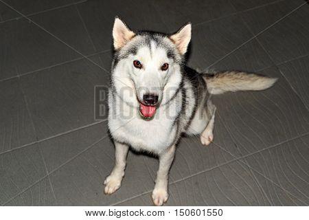 portrait of a grey siberian husky in the dark