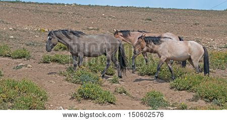 Band of Wild Horses walking near a wild horse watering hole in the Pryor Mountains in Montana USA