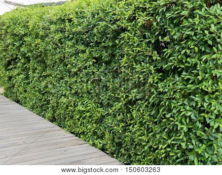 Wooden Walkway And  Plant Background