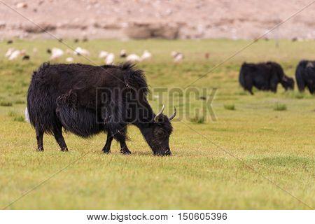 Wildlife Yak in field in Ladakh. Himalayas range wildlife.