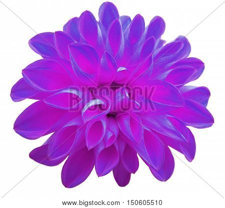 flower violet dahlia isolated on white background. It can be used in website design and printing. Suitable for designers. Closeup.