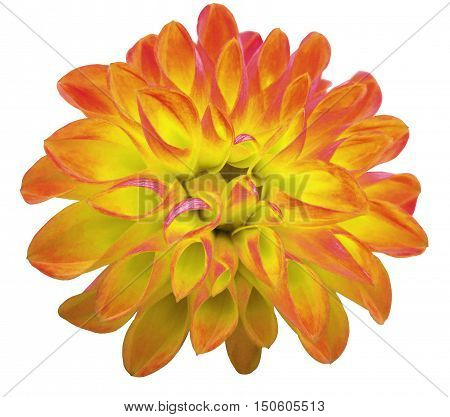 flower yellow dahlia isolated on white background. It can be used in website design and printing. Suitable for designers. Closeup.