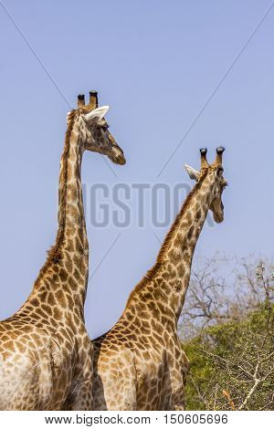 two giraffes wild in mating time, Kruger Park, South Africa