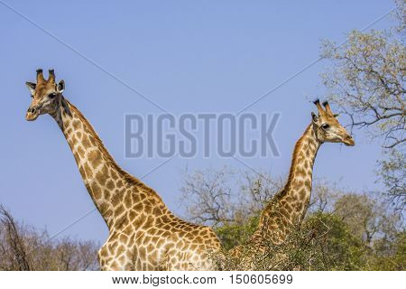two giraffes wild in mating time, Kruger National Park