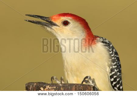 Male Red-bellied Woodpecker (Melanerpes carolinus) on a tree trunk