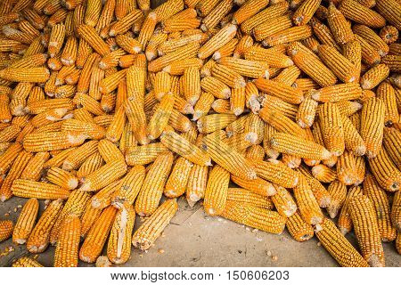 Corn on cob, pile of corn, dried corn for bio fuel.